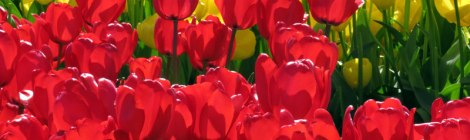 Tulips in La Conner, Washington