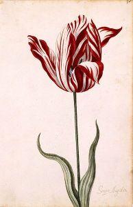 Semper Augustus Tulip 17th century