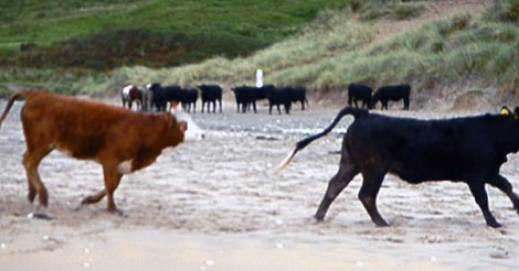 The crazy cows at White Park Bay in Ireland, UK