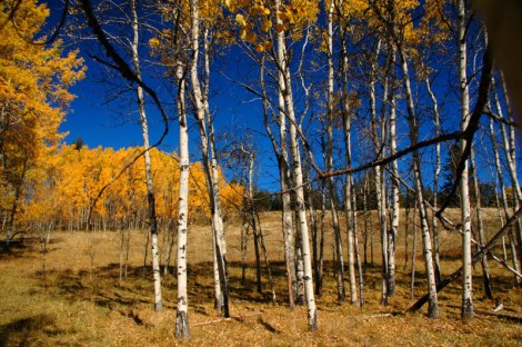 Birch trees in autumn up in the hills above Merritt