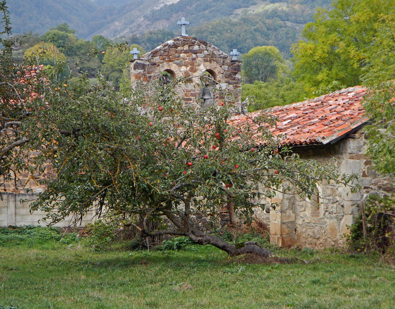 An old apple tree in front of a church in Mogrovejo, a mountain village in a Picos de Europa, Spain