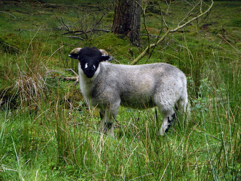 A sheep on our walk past the Ladybower Reservoir in the Peaks District of England