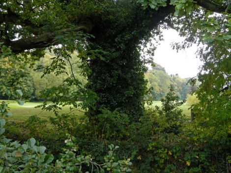 Ivy-covered tree in Cahir Park, Ireland