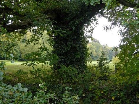 Arbre couvert de lierre dans Cahir Park, Irlande