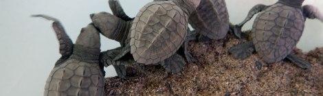 baby turtles born on the beach in Puerto Vallarta, Mexico