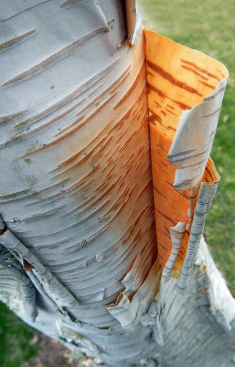 Peeling birch bark