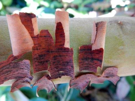 Peeling arbutus tree
