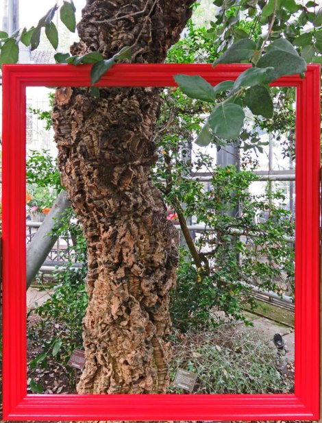 In the Hortus Gardens in Amsterdam they have red frames around anything that's interesting, such as this cork tree with its bark intact.