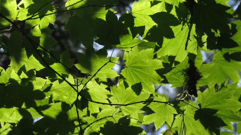 Back-lit green maple leaves in Lynn Canyon in North Vancouver