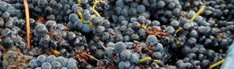 grape harvest in La Rioja, Spain