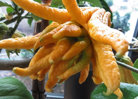 Buddha's Hands Citron plant, the mother of all citrus fruits