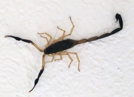 The scorpion in our room
