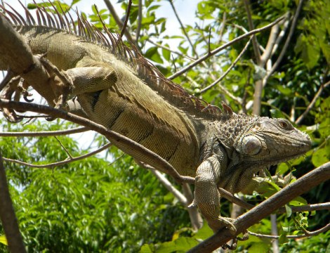 The big old iguana we called El Jefe (Ostional, Costa Rica)