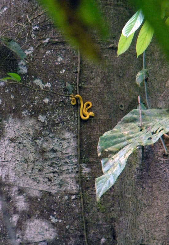 Some kind of venomous viper in a tree along the jungle trail of Hanging Bridges in Costa Rica