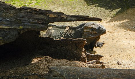 A Komodo Dragon gives me the evil eye at the Singapore Zoo