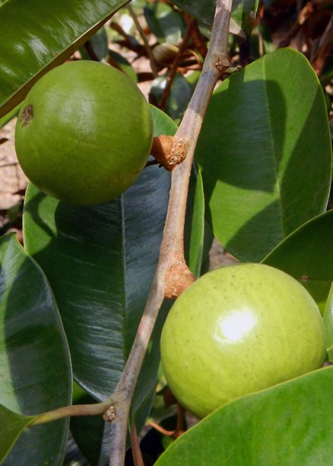 Strange Fruit on the Mekong: a Star Apple