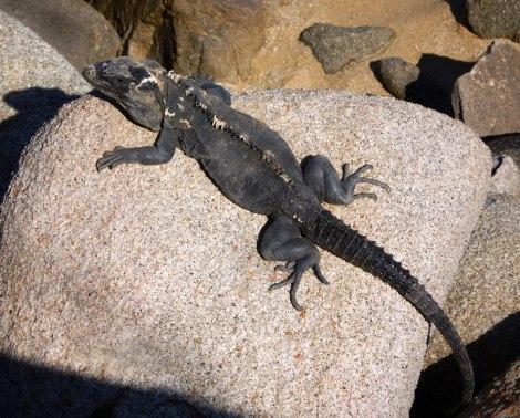 Mottled Iguana sunning on the rocks on the beach in Huatalco