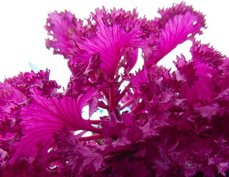 Hot pink winter cabbage