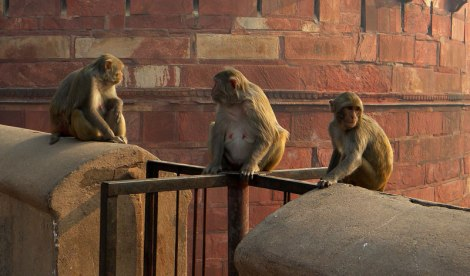 Monkeys at the Fort in Agra, India
