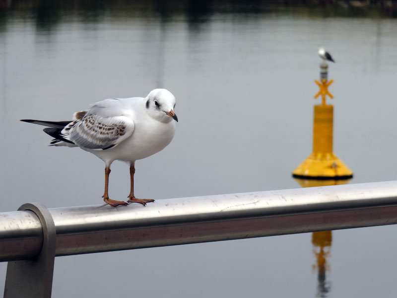 Seagull on the Marine Trail in Belfast