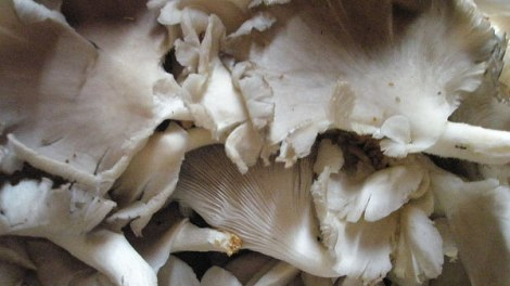 Wild white mushrooms in the Luang Prabang Market, Laos