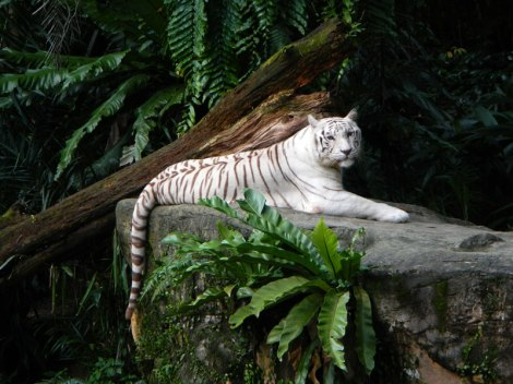 White tiger in the Singapore Zoo
