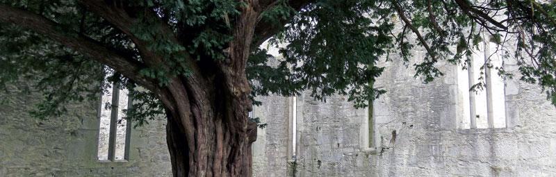 Muckross Abbey in Killarney National Park, Ireland