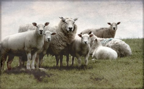 The sheep are in awe of the Sheepsaver!
