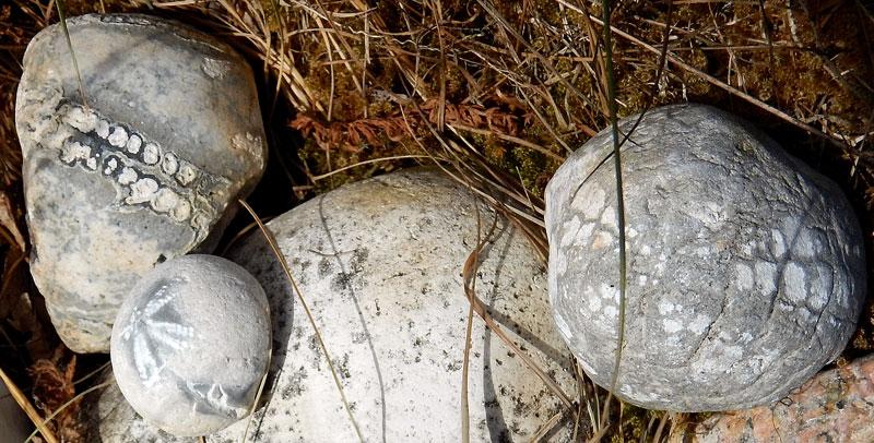 Flint fossil flint fossil echinoids at my cousin's friend's garden in Odense, Denmark