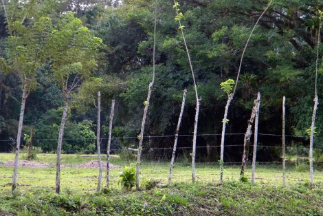 A 'growing' fence in Costa Rica