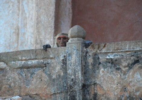 The monkey at Bundi Fort