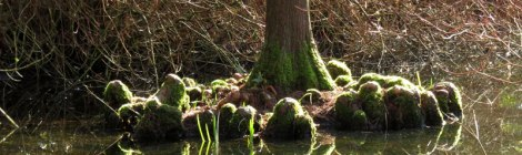 Cypress roots called 'Monks' in Van Dusen Pond, Vancouver, Canad