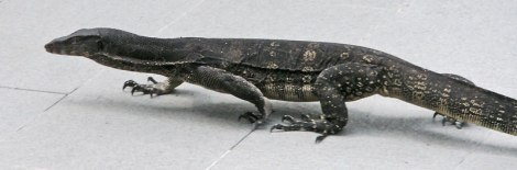 A monitor lizard crawling across the sidewalk at the Dusit Palace in Bangkok, Thailand
