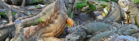 We arrived to see the Iguanas in the middle of a feeding frenzy - fortunately these creatures seem to be mostly vegan!