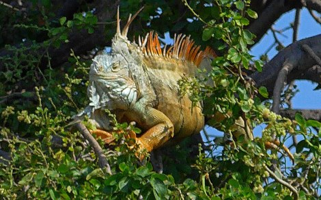 Iguana in a tree at the Iguana Reserve in Manzanillo, Mexico