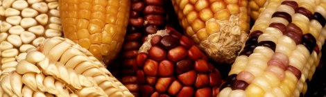 a variety of different types of corn