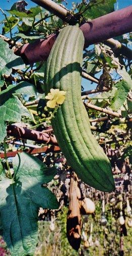 Loofa gourd growing from a trellis in the Kyoto Botanical Garden in Japan