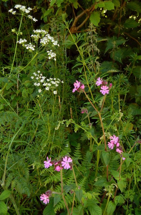 Red Campion in the wild along with the white Queen Anne's Lace, ferns and Stinging Nettles.