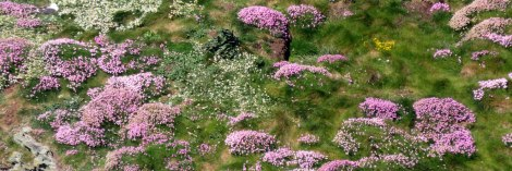Holyhead South Stacks drifts of pink Sea Thrift flowers on the cliffs